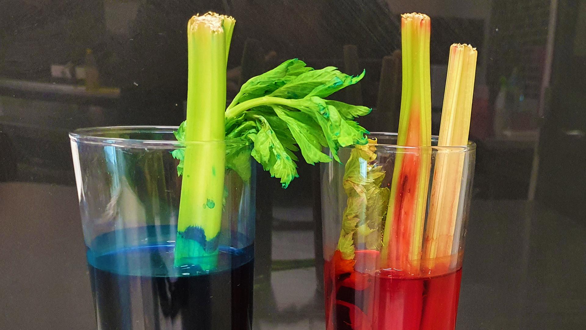 Celery xylem experiment
